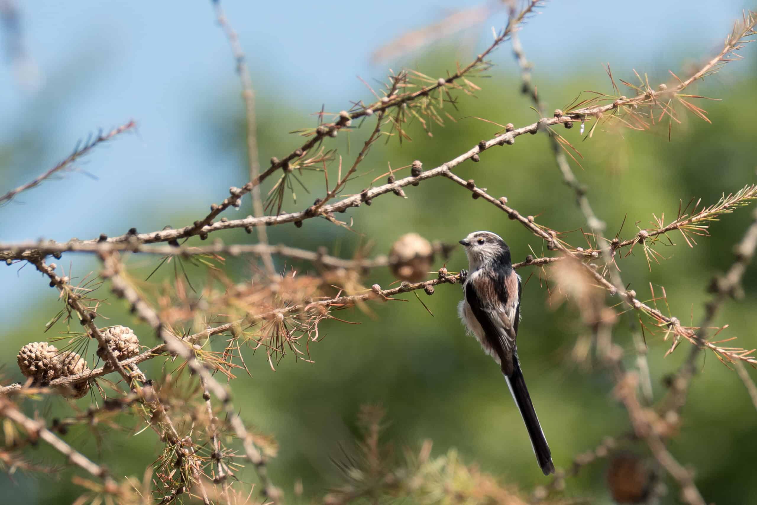 Raniuszek czarnobrewy
